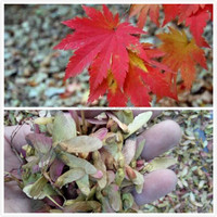 Acer pseudo-sieboldianum seeds for planting color leaves maple tree seeds