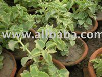 Ajowan Caraway (botanical name of Trachyspermum copticum