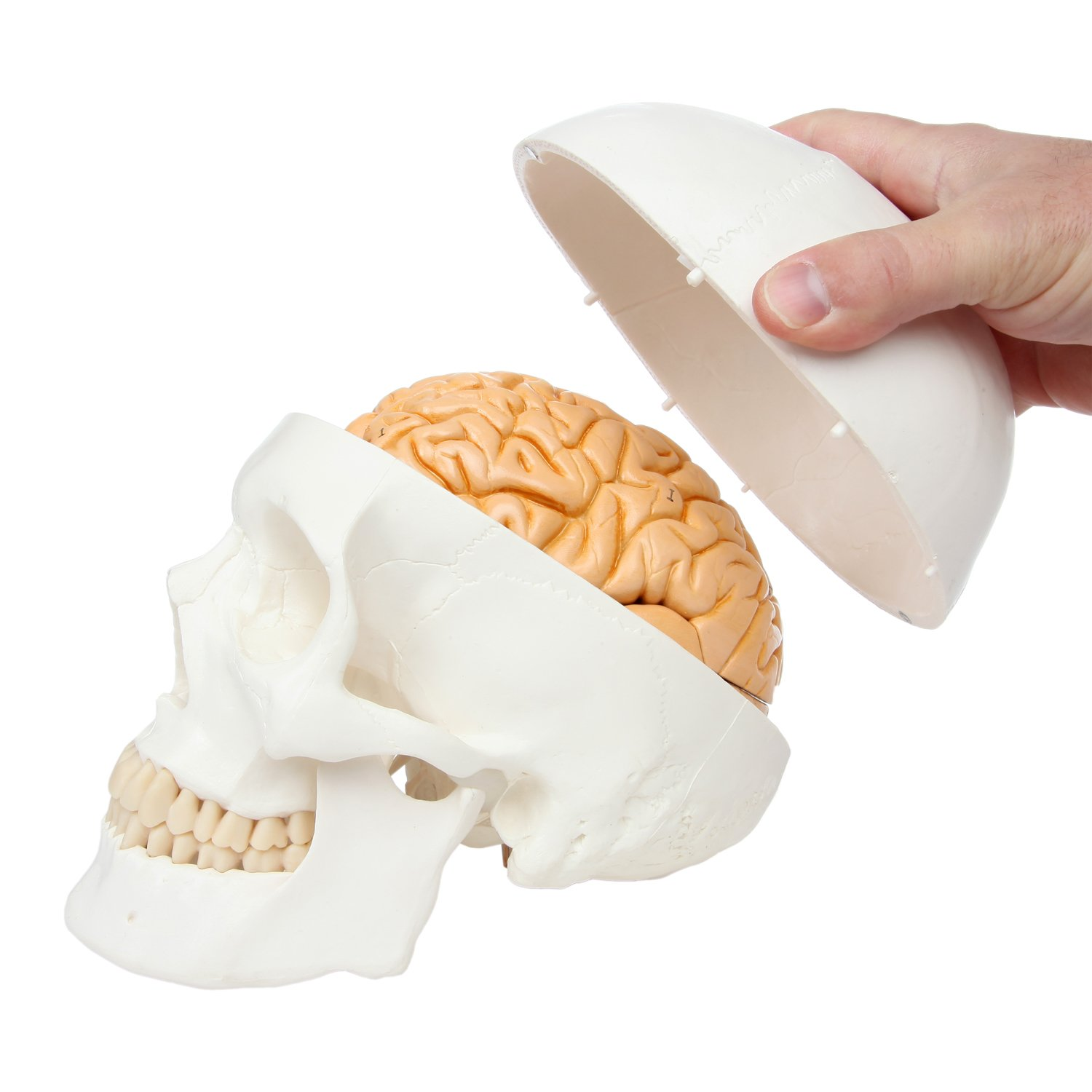 Cheap Human Brain Model, find Human Brain Model deals on line at ...