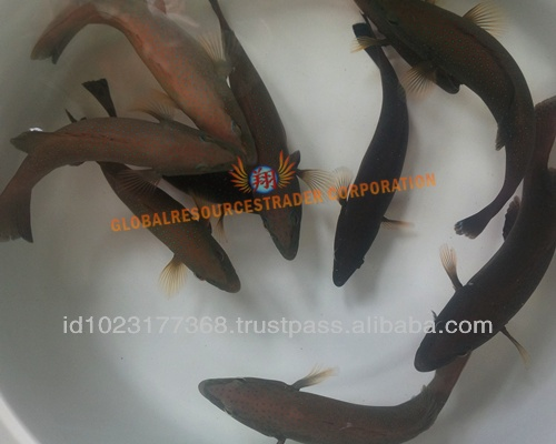 Coral Trout Grouper Fry/fingering Or Juveniles