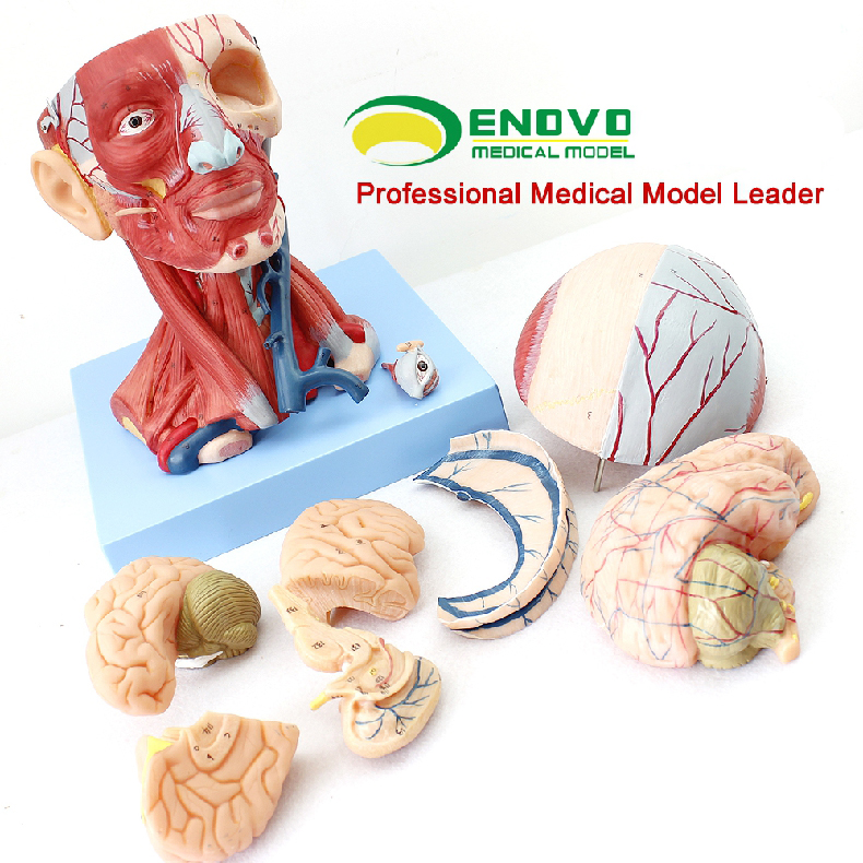 Muscle Anatomy 12309 Head Muscles And Brain Blood Vessel Anatomy ...