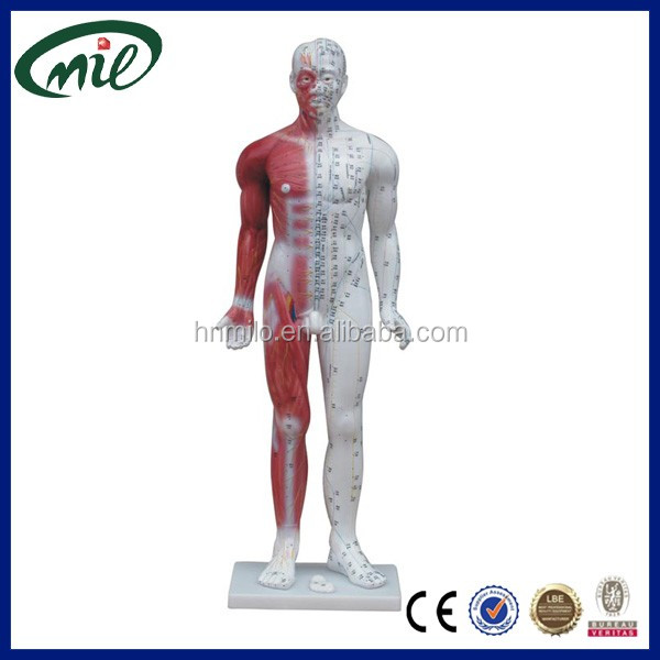 Human Body Anatomy Model Human Body Anatomy Model Suppliers And