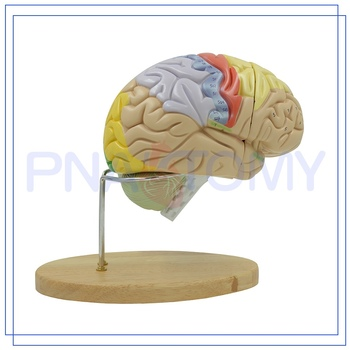 Pnt 0614 High Quality Plastic Teaching Anatomical Brain Models For