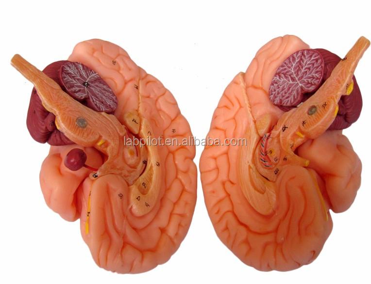 15 Pieces Detachable Brain Modelteaching Brain Anatomy Model Buy