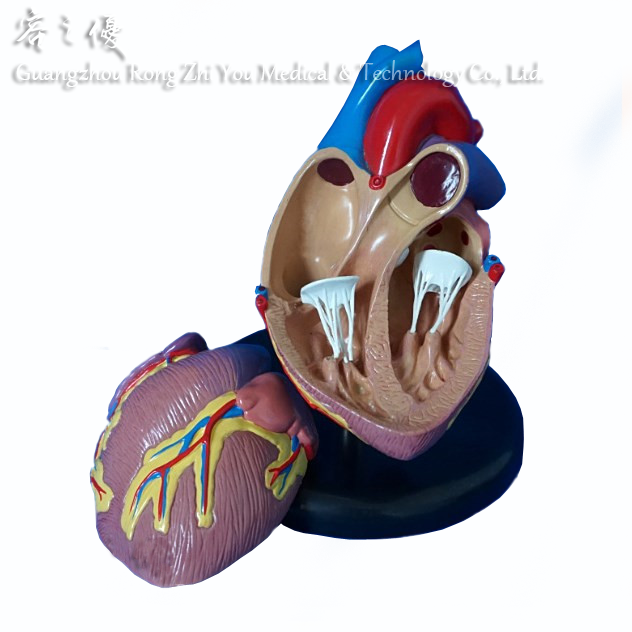 2-piece Cutaway Heart Anatomy/anatomical Model - Buy Heart Anatomy ...