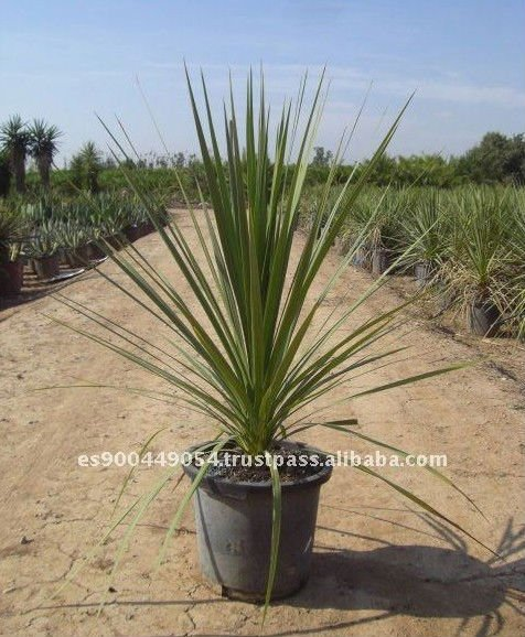 Plante Decorative Exterieure Of Cordyline Indivisa Ext Rieure Milieu Tropical D Corative