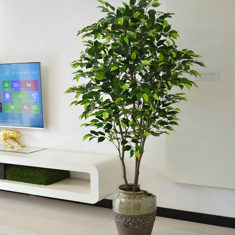 pappelfeige samen ficus religiosa buddha baum bodhi baum bonsai geeignet buy bonsai geeignet. Black Bedroom Furniture Sets. Home Design Ideas
