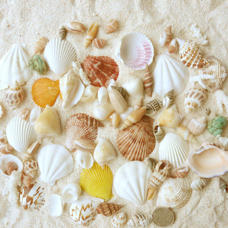 wholesale big mixed white decorative natural craft vase sea shells for jewelry necklace