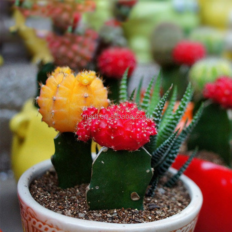 Indoor Ornamental Plants natural cactus supplier