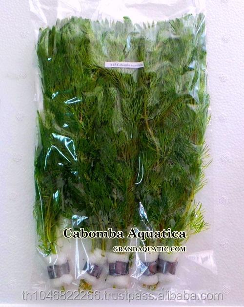 Cabomba Aquatica Live Aquatic Plants Wholesale / Aquarium Plant ...