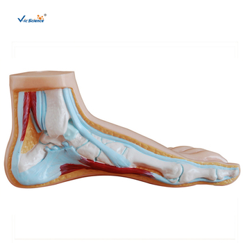 Human Normal Foot Anatomy Model for Teaching