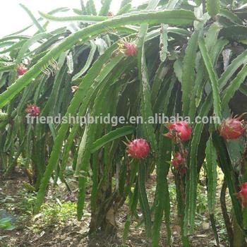 Fresh Dragon Fruit Plant Price Buy Dragon Fruit Pricefresh Dragon