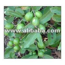 Mango(desehri,Chousa,Langdha,Aamrapali,Malikka,Guava(l49 Sardara,Allahabadi  Safaida,Berf Khana,Lalit,Amla Santra Musambi - Buy Nursery Plant Mango