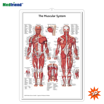Licensed Educational Plastic 3D Medical Anatomical Wall Chart /Poster - The Muscular System
