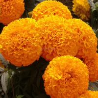Touchhealthy supply High yield pigment marigold flower seeds for cultivating 10gram/bags