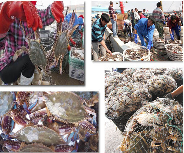 frozen fresh half cut blue swimming crab portunus trituberculatus
