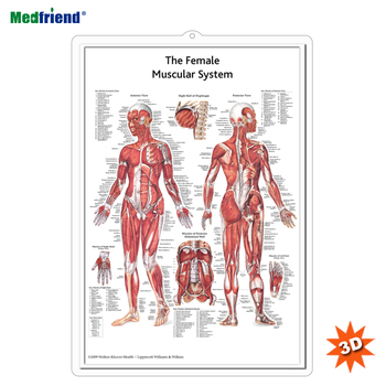 Licensed Educational Plastic 3D Medical Anatomical Wall Chart /Poster - The Female Muscular System