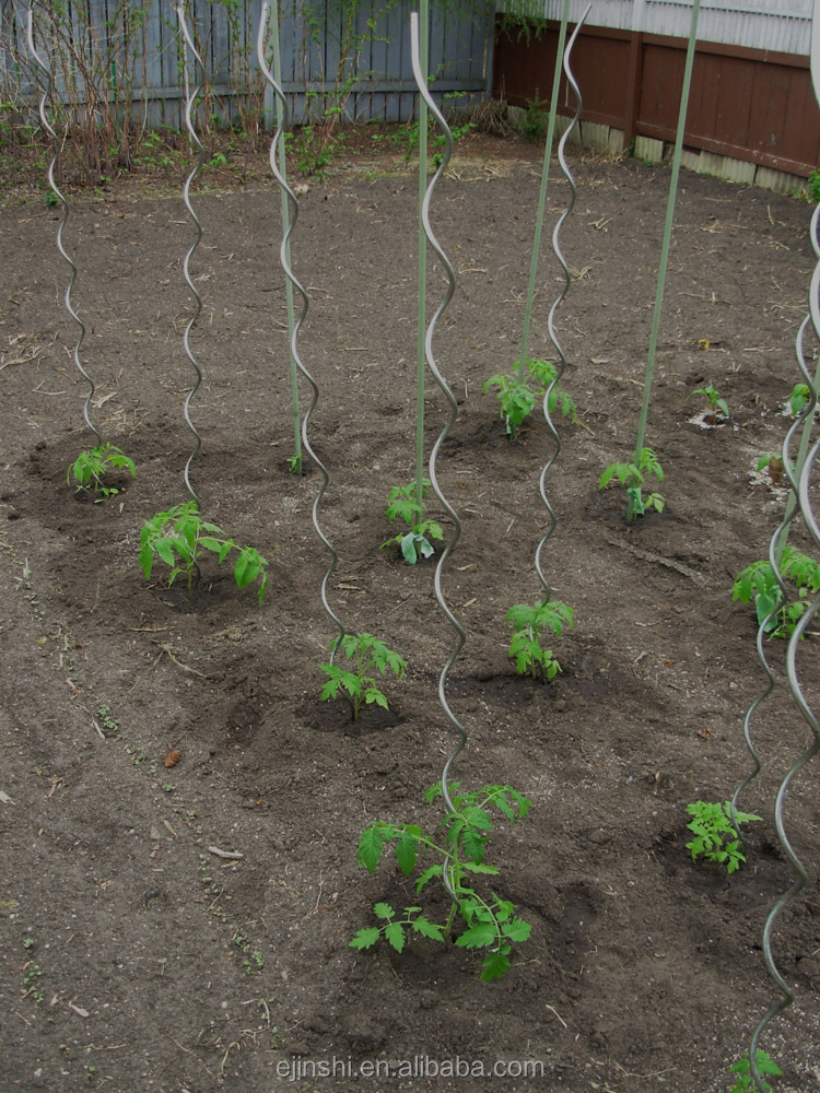 Stainless steel plant support spiral tomato stakes.