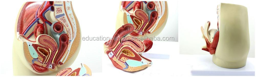 Se328155 Menschlichen Weibliche Anatomischen Fortpflanzungssystems ...