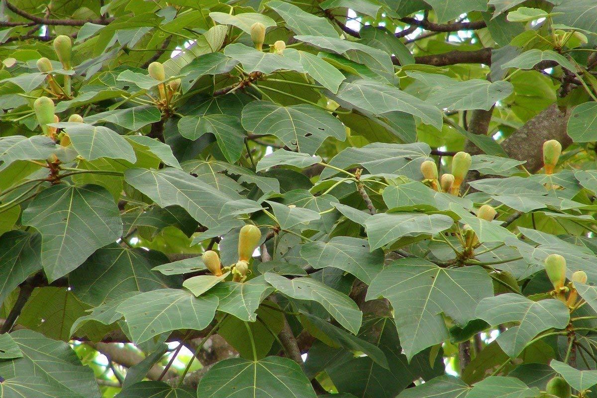 100 Ochroma pyramidale Seeds , Balsa Wood Tree Seeds. Ochroma lagopus Seeds