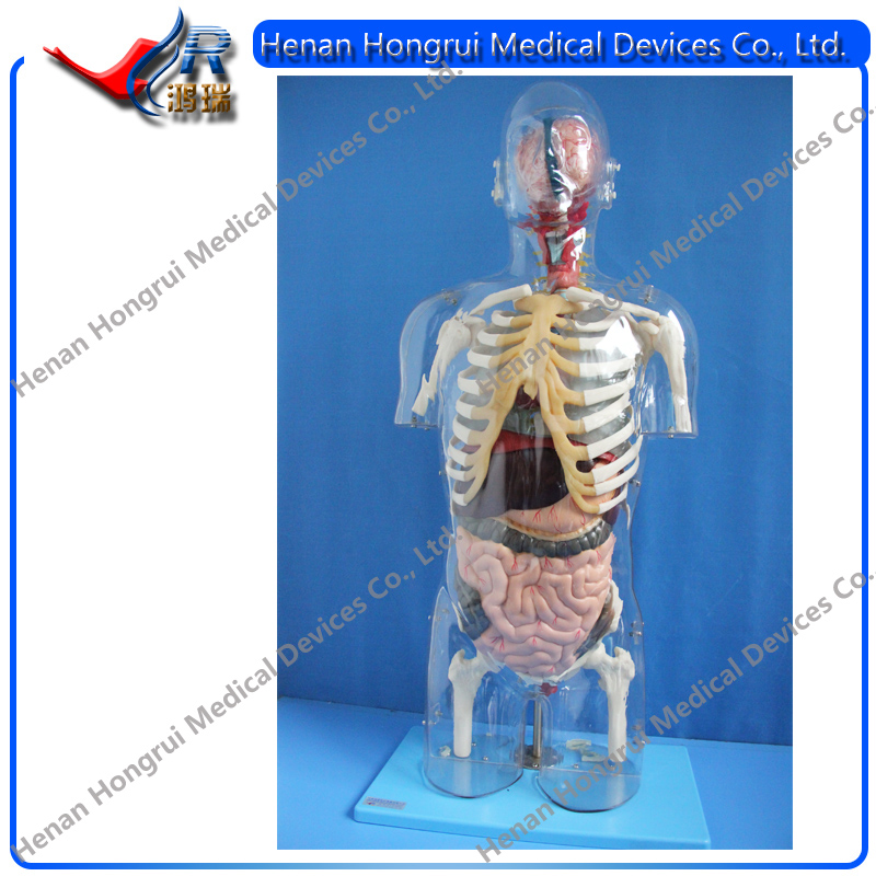 China Human Torso Model, China Human Torso Model Manufacturers and ...
