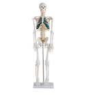 Medical human wholesale 85cm plastic anatomical teaching skeleton models with nerves and blood vessels