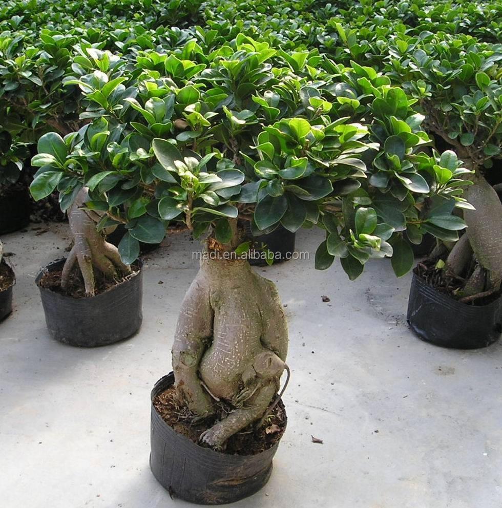 Chinese Mini Bonsai Tree Natural Ficus Ginseng - Buy Ginseng Ficus  Microcarpa,Ginseng Ficus,Mini Ginseng Ficus Product on Alibaba.com