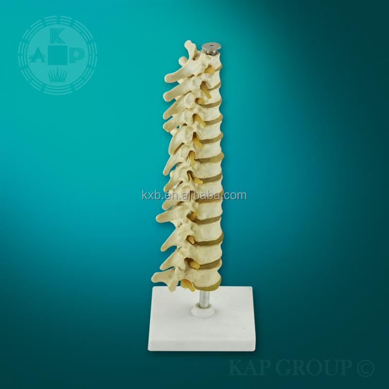 A01-023 De Plástico Médico Columna Vertebral Humana Modelo Anatómico ...