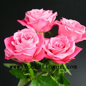 High Quality Best Pink Fresh Cut Rose Flowers Names Of Flowers Used