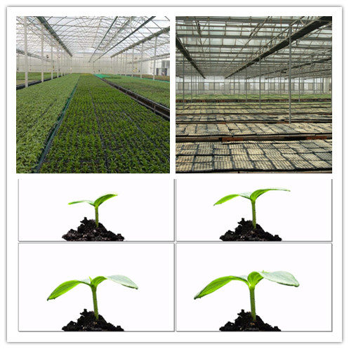 high Germination Rate papaya seeds pawpaw seeds papaya tree seeds