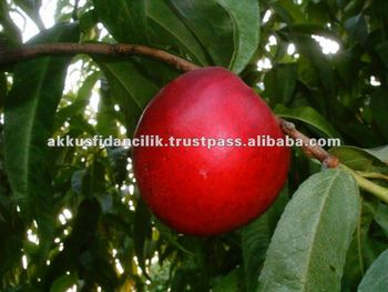 Nectarine Fruit Tree Stark Red Gold