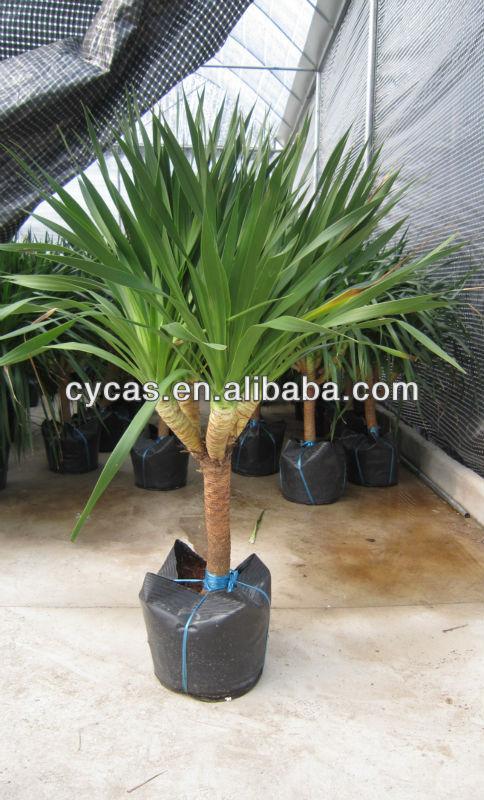 https://sc01.alicdn.com/kf/HTB1WJDnMVXXXXXwXFXXq6xXFXXXg/Dracaena-Draco-Dracaena-angustifolia.jpg Dracaena