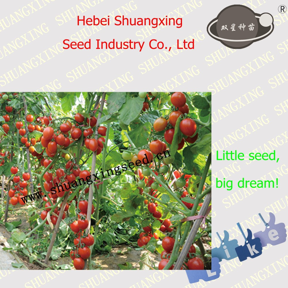 SXTS No.1420 Little hybrid Tomato Seeds