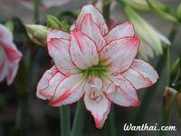 Amaryllis flower bulbs