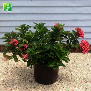 Cheap hot sale1.2-1.8m height evergreen shrub tree Ixora chinensis