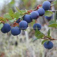 Bluecrop Blueberry fruit Trees from China