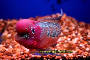 Flowerhorn, Kamfa, King kamfa, malua and red texus