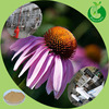 Echinacea extract powder chicoric acid echinacea purpurea extract