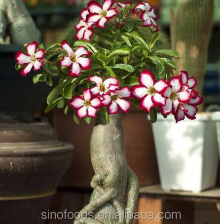 Mei Gui hot sale high quality desert rose seeds