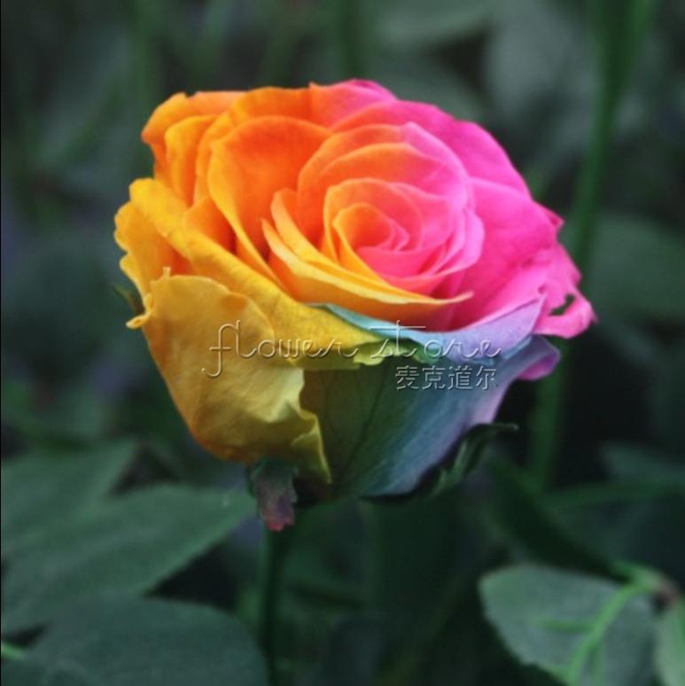20 rainbow rose graines sp ciales superbe fleurs balcon livraison gratuite dans bonsa s de. Black Bedroom Furniture Sets. Home Design Ideas