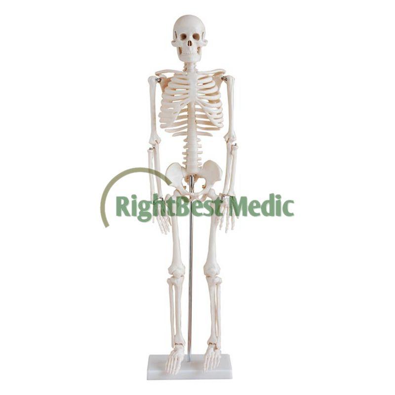 Adult Human Skeleton 68