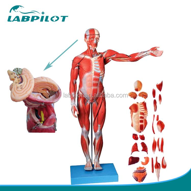 78cm Full Body Muscles Modelhuman Muscles With Internal Organs