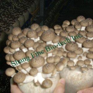 Milky Mushroom, Milky Mushroom Suppliers and Manufacturers