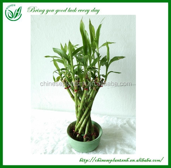 dracaena sanderiana lucky bamboo office desk plants - buy office