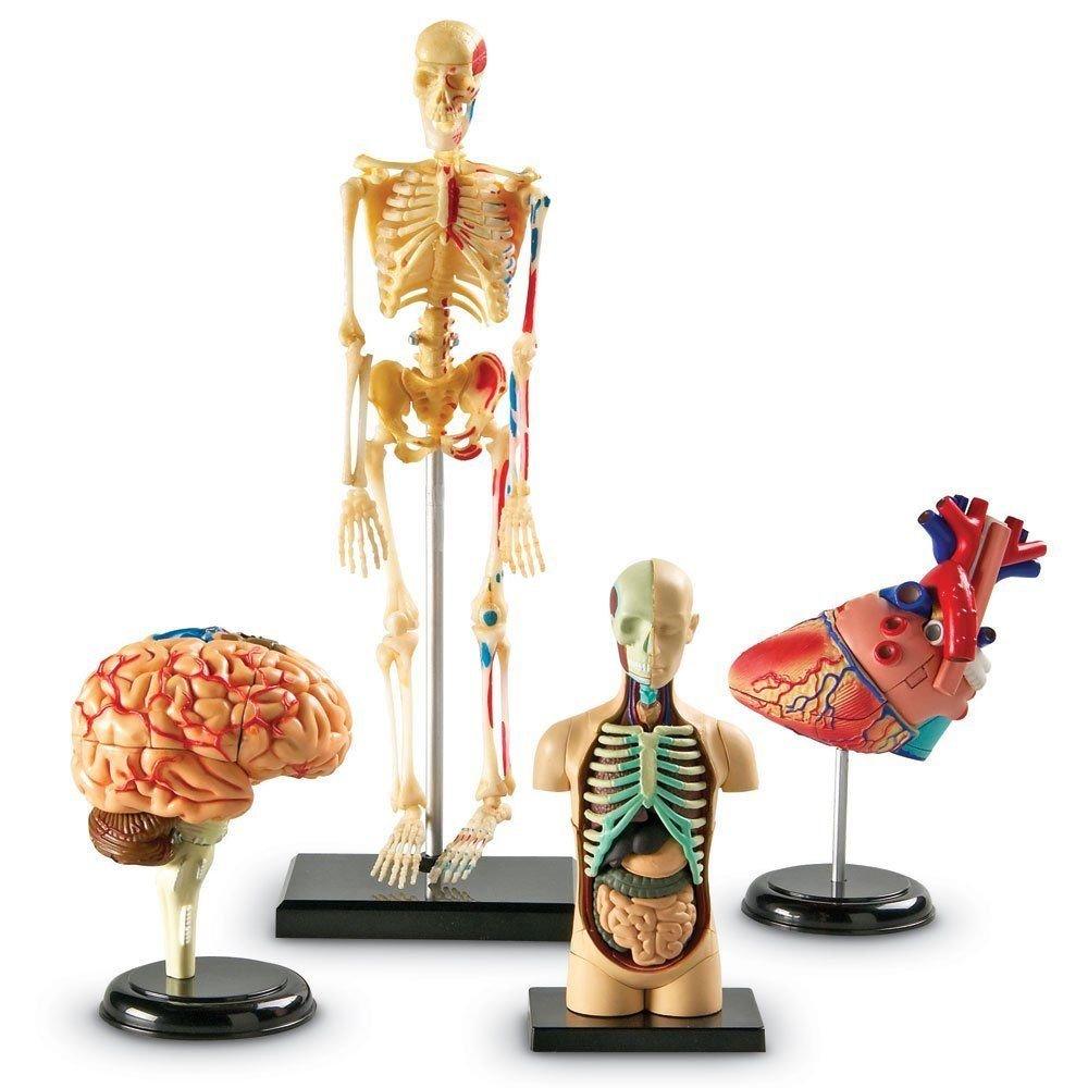 Cheap Educational Anatomy Models, find Educational Anatomy Models ...