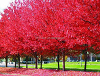 Acer rubrum /Chinese Maple /Acerpalmatum/Japanese Maple tree seeds for planting