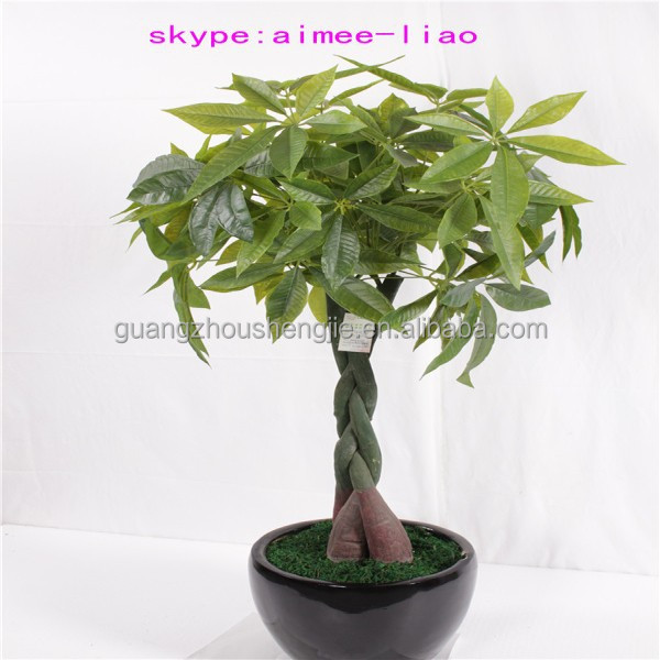 indoor house plants mini money tree pachira macrocarpa