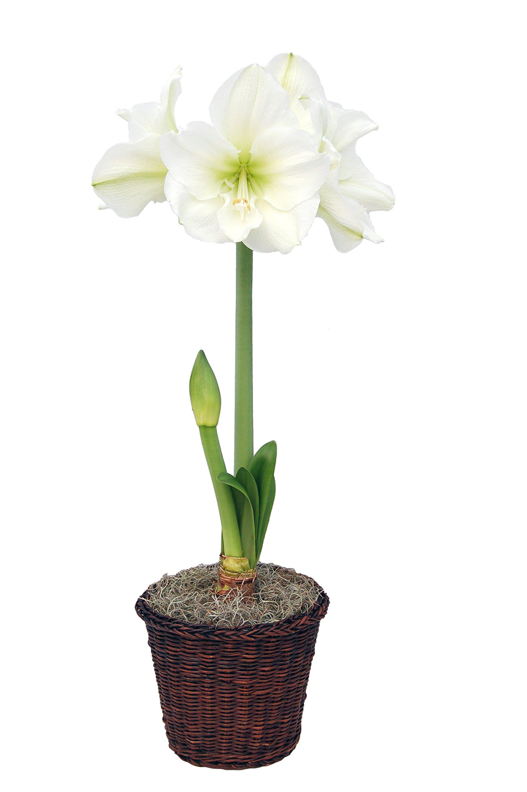 Cheap Bulb Flowers List Find Bulb Flowers List Deals On Line At