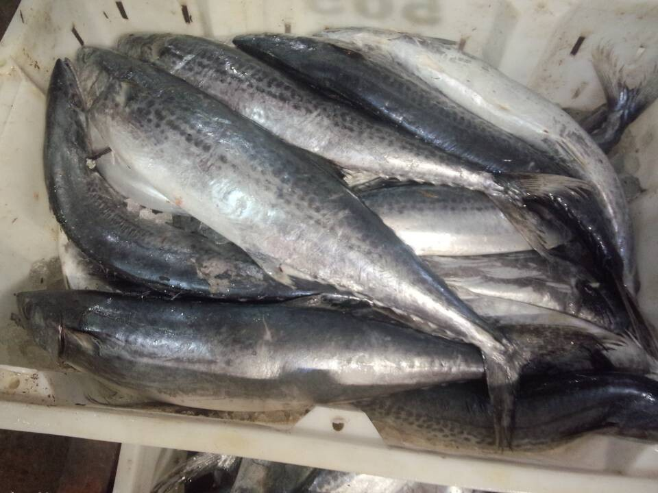 Frozen spanish mackerel fish whole round spanish for Spanish mackerel fish