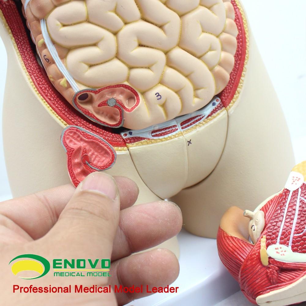 Torso03 (12014) Anatomía Médica 45 Cm Alto Bisexual Torso Humano ...